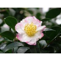 Camellia Sasanqua, Narumigata