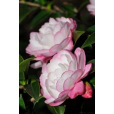 Camellia Sasanqua, Paradise Blush