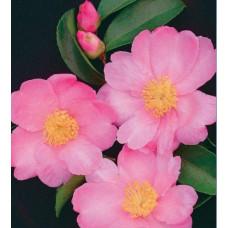 Camellia Sasanqua, Plantation Pink