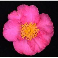 Camellia Sasanqua, Rose Anne