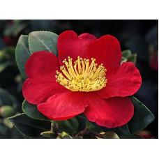 Camellia Sasanqua, Yuletide