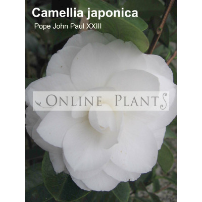Camellia Japonica, Pope John XXIII