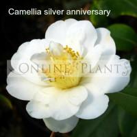 Camellia Japonica, Silver Anniversary