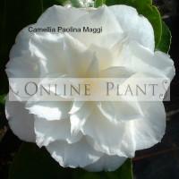 Camellia Japonica, Paolina Maggi