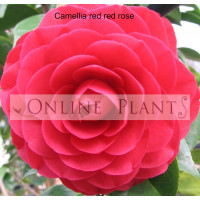 Camellia Japonica, Red Red Rose