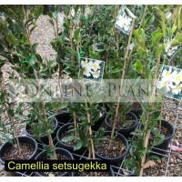 Camellia Sasanqua, Setsugekka