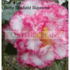 Camellia Japonica, Betty Sheffield Supreme