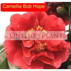Camellia Japonica, Bob Hope