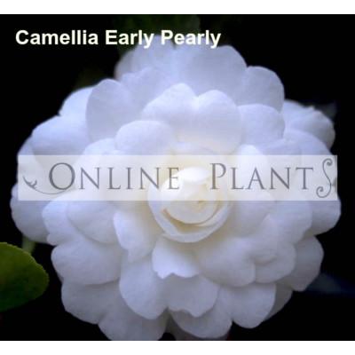 Camellia Sasanqua, Early Pearly