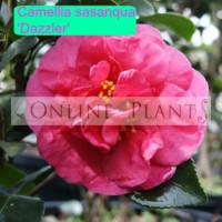 Camellia Sasanqua, Dazzler
