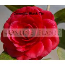 Camellia Japonica, Black Tie