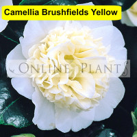 Camellia Japonica, Brushfield's Yellow