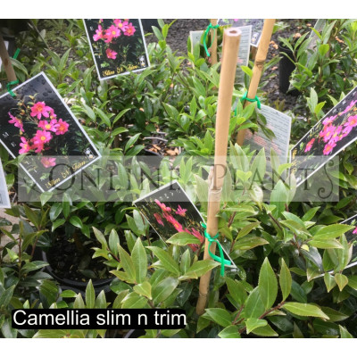 Camellia sasanqua Slim n Trim
