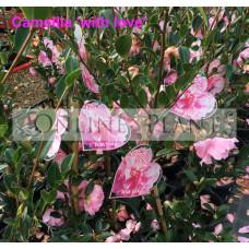 Camellia Sasanqua With Love