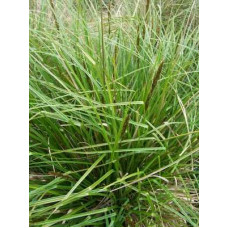 Carex Appressa Tall Sedge