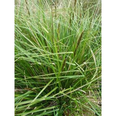 Carex Appressa Tall Sedge