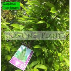Carpinus betulus Hornbeam