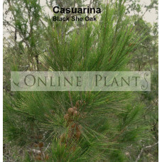 Casuarina Littoralis, Black She-Oak