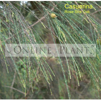 Casuarina Torulosa, Rose She-Oak