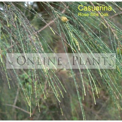 Casuarina Torulosa, Rose She-Oak