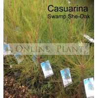 Casuarina  Swamp She-Oak