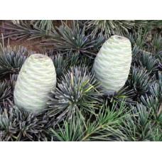 Cedrus Deodara, Indian Cedar
