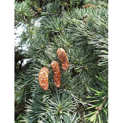 Cedrus Libani, Lebanese Cedar
