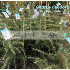 Cedrus deodora Himalyan Cedar