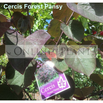 Cercis canadensis, Forest Pansy