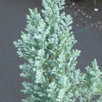 Chamaecyparis lawsoniana, Blue Gem