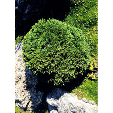Chamaecyparis lawsoniana, Green Globe
