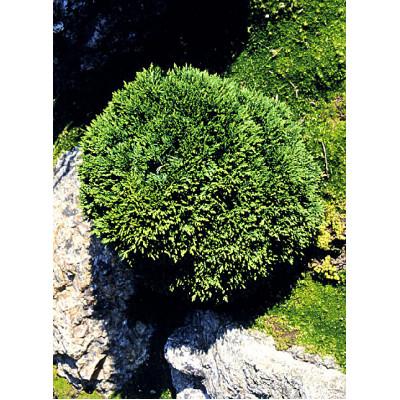 Chamaecyparis lawsoniana, Green Globe