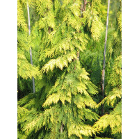 Chamaecyparis lawsoniana, Vens Yellow