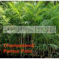 Chamaedorea Elegans Parlour Palm