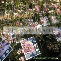 Chamelaucium Revelation Geraldton Wax Plant