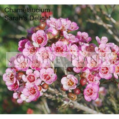 Chamelaucium Sarah's Delight