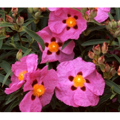Cistus Brilliancy