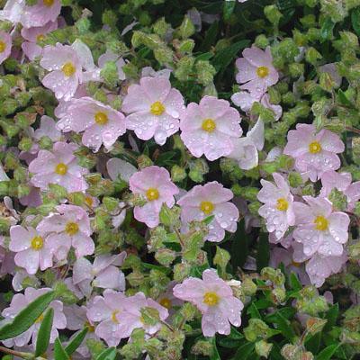 Cistus Silver Pink Rock Rose