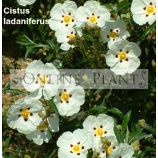 Cistus ladaniferus Rock rose