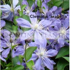 Clematis Arabella