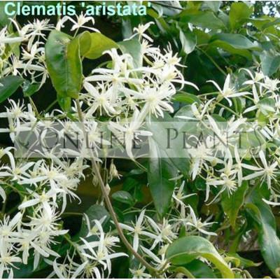 Clematis Aristata