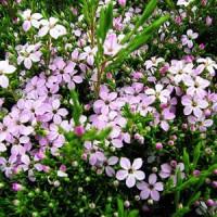 Coleonema compactum Dwarf Pink Diosma
