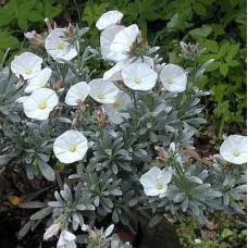 Convolvulos Cneorum Silver Bush