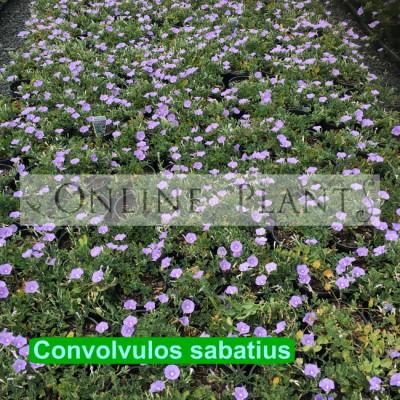 Convolvulos Sabatius