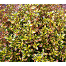 Coprosma Coppershine