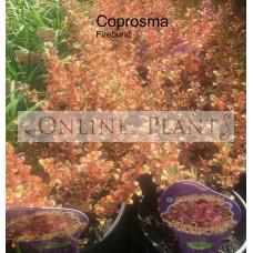 Coprosma Fireburst