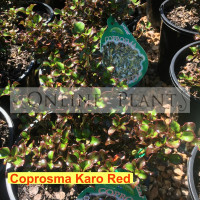 Coprosma Karo Red