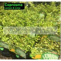 Coprosma Lemon And Lime
