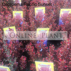 Coprosma Pacific Sunset