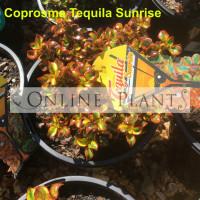 Coprosma Tequila Sunrise